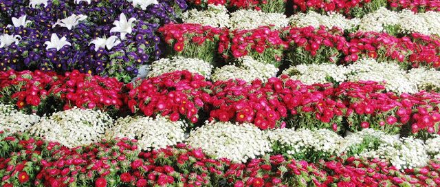 sm_Red_white_blue_flowers_IMG_77051